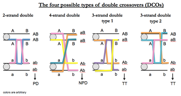 4 types of double crossovers