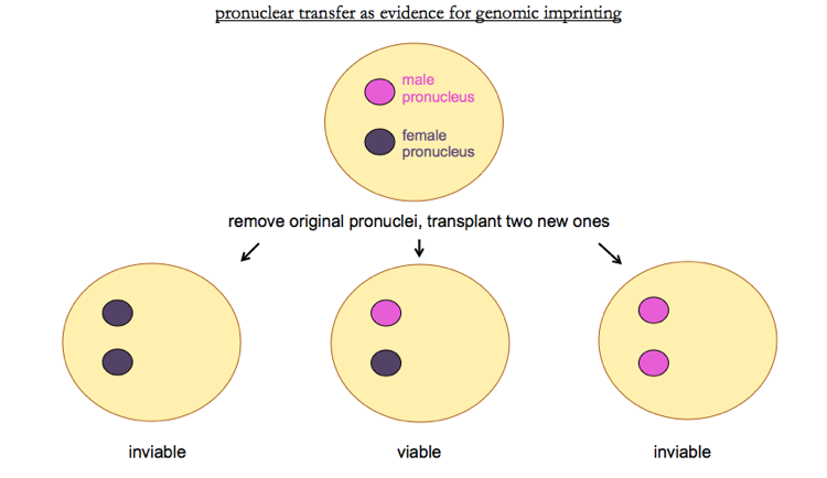 Genetics 27: 'Epigenetics Part II' X And Y Chromosomes