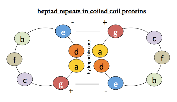 Protein folding 02: Alpha helices and coiled coils