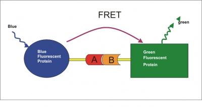 Px Biotek Fret Fig on Energy Diagram Fluorescence