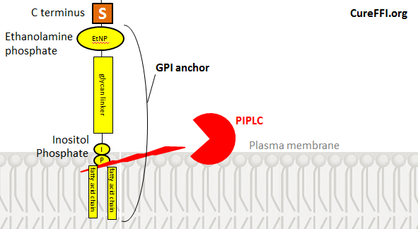 gpi-anchor-and-piplc
