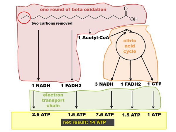 how to remember beta oxidation