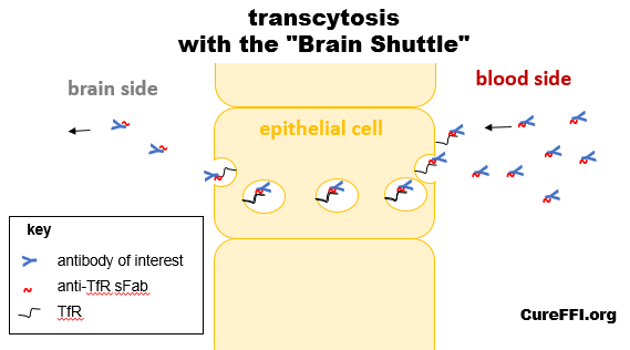 transcytosis-brain-shuttle-diagram